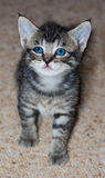 Young Short-Haired Grey Tabby Kitten. A young short-haired gray tabby kitten with brilliant blue eyes stands looking to camera left isolated on a beige carpet Stock Photo