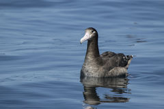 Young short-tailed albatross sitting on the water a summer Stock Photo