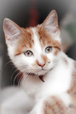 Young shorthair red-white cat Royalty Free Stock Photo