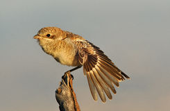Young Shrike Royalty Free Stock Photos
