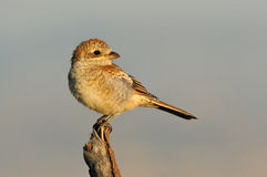 Young Shrike perches on a tree branch Stock Photography