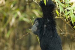 A young siamang. Monkey portrait Stock Image