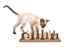 Young Siamese cat checking out a chess board Royalty Free Stock Photos