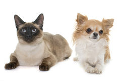 Young siamese cat and chihuahua Stock Photos