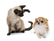 Young siamese cat and chihuahua Stock Images