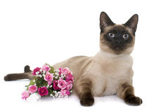 Young siamese cat Stock Image
