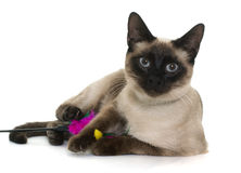 Young siamese cat Royalty Free Stock Image