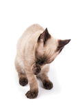 Young Siamese cat grooming himself Royalty Free Stock Images