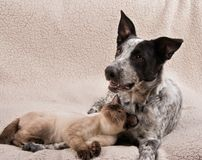 Young Siamese cat and a young dog lying together Stock Photography