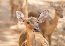 Young siamese eld deer , Thamin, brow antlered deer  Cervus eldi Siamensis. In natural Royalty Free Stock Photo