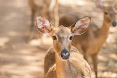 Young siamese eld deer , Thamin, brow antlered deer  Cervus eldi Siamensis. In natural Royalty Free Stock Photography