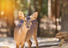 Young siamese eld deer , Thamin, brow antlered deer  Cervus eldi Siamensis. In natural Stock Photo