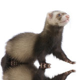 Young siamese sable Ferret kit Royalty Free Stock Photography