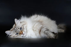 Young siberian cat. Young siberian female color point cat on black background Stock Images