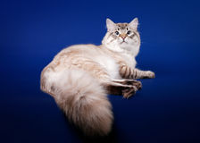 Young siberian cat Stock Photography