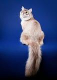 Young siberian cat Stock Photo