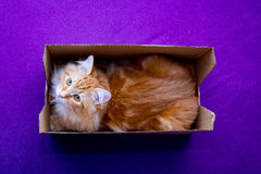 Young siberian cat in the box Royalty Free Stock Photos