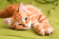 Young siberian cat Royalty Free Stock Image