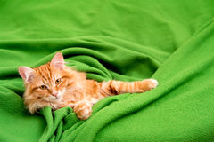 Young siberian cat Royalty Free Stock Images