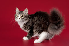 Young siberian kitten. On dark red background Stock Images