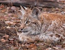 Siberian Lynx Kitten in the Fall stock images
