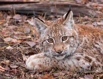 Siberian Lynx Kitten in the Fall stock photography