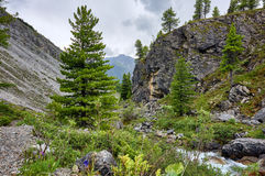 Young Siberian pine in the valley of the mountain brook royalty free stock photo