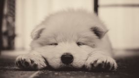 Young Siberian Samoyed puppy sleep. In house on carpet. Isolated Siberian Samoyed puppy sleep Royalty Free Stock Image