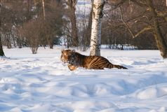Siberian tiger lying on snow in forest - Panthera tigris altaica Royalty Free Stock Photography