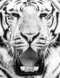 Young siberian tiger portrait with open mouth and sharp teeth Stock Images