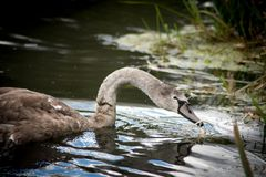 Young signet Swan feeding in reeds of lake stock photos