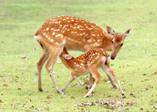Young Sika Deer Royalty Free Stock Images
