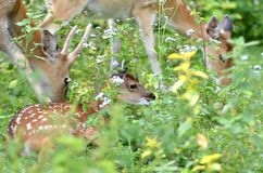 Young sika deer Royalty Free Stock Photo