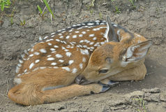Young sika deer 10 Stock Image