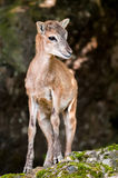 Young sika deer fawn. (lat. Cervus nippon) standing in the woods Royalty Free Stock Photography