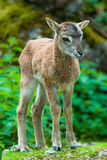 Young sika deer fawn. Youg sika deer fawn (lat. Cervus nippon) standing in the woods Stock Photos