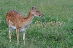 Young sika deer on a  green grass Royalty Free Stock Photo