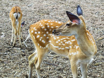 Young Sika Deer. Royalty Free Stock Image