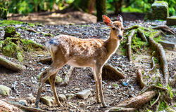 Young sika deer in Nara Park Royalty Free Stock Images