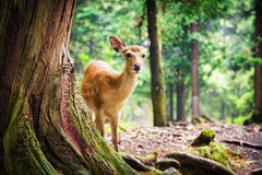 Young sika deer in Nara Park Stock Images