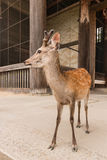 Young sika deer stag Royalty Free Stock Photos
