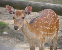 Young sika deer Stock Photo