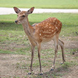 Young sika deer Royalty Free Stock Photos