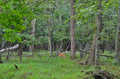 Young sika deer 2 Royalty Free Stock Photos