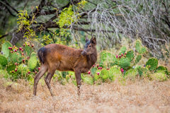 Young Sika Deer Royalty Free Stock Photography