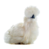 Young Silkie Royalty Free Stock Photography