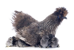 Young Silkie Royalty Free Stock Images