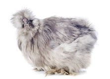 Young Silkie Royalty Free Stock Photos