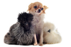 Young Silkies and chihuahua Stock Photos