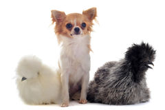 Young Silkies and chihuahua Royalty Free Stock Photos